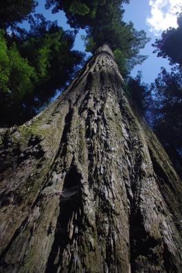 jkosteckiredwoods1